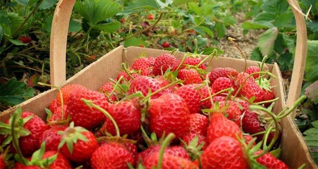 Kebun Strawberry Ciwidey